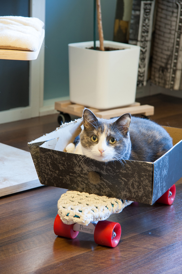 Däni-kissa skeittilaudan päällä
